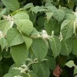 Flowers of Japanese Knotweed