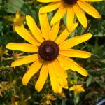 Flowers of Black-Eyed Susan