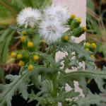 Flowers of Common Groundsel