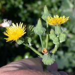 Flowers of Annual Sowthistle