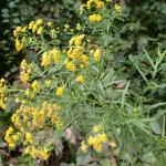 Flowers of Narrowleaf Goldenrod
