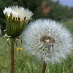 Flowers of Dandelion