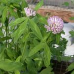 Flowers of Red Clover