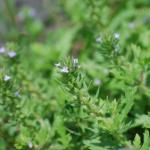 Flowers of Prostrate Vervain