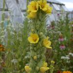 Flowers of Common Mullein