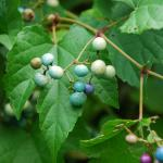 Fruits of Porcelainberry