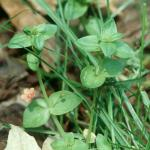 Leaves of Scarlet Pimpernel