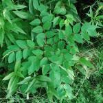 Leaves of Spreading Dogbane