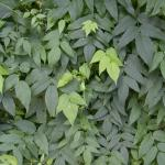 Leaves of Groundnut