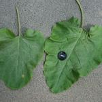 Leaves of Great Burdock
