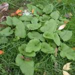 Leaves of Common Burdock