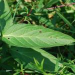 Leaves of Swamp Milkweed