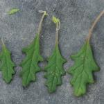 Leaves of Clammy Goosefoot