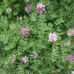 Leaves of Trailing Crownvetch