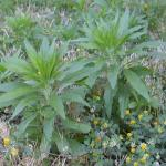 Leaves of Horseweed