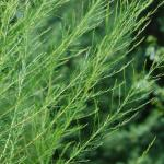 Leaves of Dogfennel