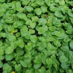 Leaves of Lesser Celandine