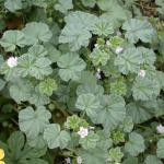 Leaves of Common Mallow