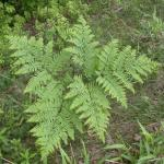 Leaves of Brackenfern