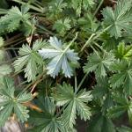 Leaves of Silvery Cinquefoil