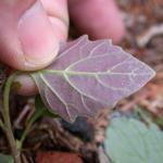 Leaves of Eastern Black Nightshade