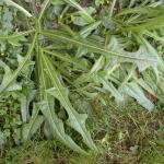 Leaves of Perennial Sowthistle