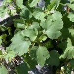 Leaves of Cocklebur