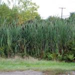 Growth Habit of Common Reed
