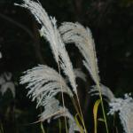 Seedheads of Amur Silvergrass