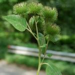 Seedpods of Great Burdock