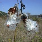 Seedpods of Common Milkweed