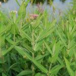 Stems of Swamp Milkweed