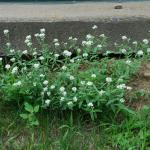 Growth Habit of Hoary Alyssum