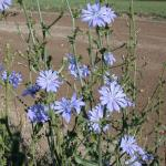 Stems of Chicory