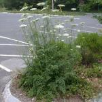 Stems of Wild Carrot