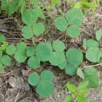 Growth Habit of Prostrate Ticktrefoil