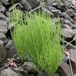 Stems of Field Horsetail