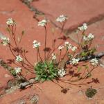 Growth Habit of Spring Whitlowgrass