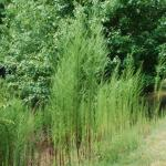 Stems of Dogfennel