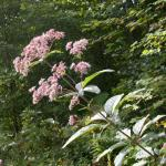Stems of Spotted Joe-Pye Weed