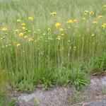 Stems of Hawkweed