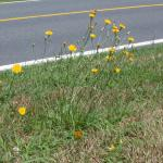 Stems of Fall Dandelion