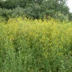 Growth Habit of Yellow Sweetclover