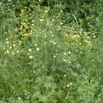 Stems of Tall Buttercup