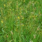 Growth Habit of Yellow-Rattle