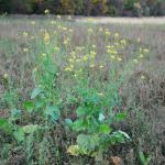Stems of Wild Mustard