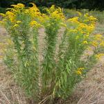 Stems of Canada Goldenrod