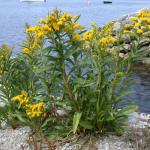 Stems of Seashore Goldenrod