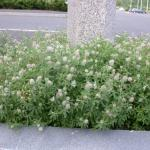 Stems of Rabbitfoot Clover