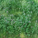 Stems of Red Clover
